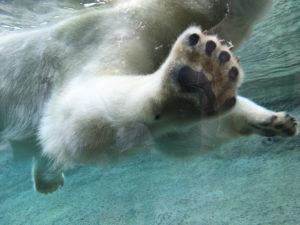 Zoo Rostock Eisbär